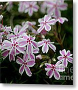 Little Candy Stripers Metal Print