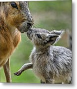 Little Cavy With Mother Metal Print