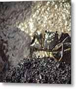 Little Crab Metal Print