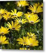 Little Field Of Yellow Daises Metal Print