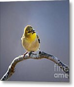 Little Goldfinch Metal Print