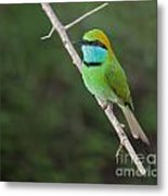 Little Green Bee-eater  Merops Orientalis Metal Print