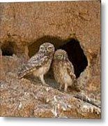 Little Owl Athene Noctua  Metal Print