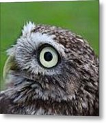 Little Owl Metal Print by Ed Pettitt