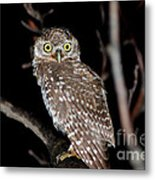 Little Owl Or Spotted Owlet Metal Print