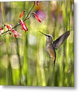 Little Queenie-calliope Hummer Metal Print by Dana Moyer