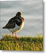 Little Turnstone Metal Print by Sharon Lisa Clarke