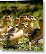 Yellow Muscovy Duck Ducklings Running Fast  Metal Print