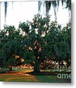 Live Oak Bathed In Evening Light Metal Print