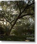 Live Oak Light Streaming Through Fog Metal Print