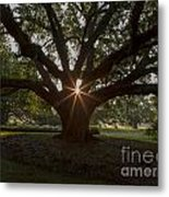 Live Oak With Early Morning Light Metal Print