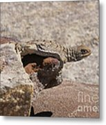 lizard from central Madagascar Metal Print