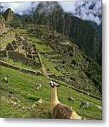 Llama At Machu Picchu Metal Print