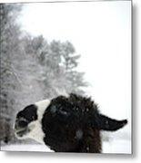Llama Profile In Snowfall, Maine, New Metal Print