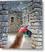 Llama Touring Machu Picchu Metal Print