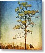 Loblolly Pine Along The Chesapeake Metal Print