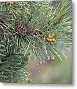 Lodge Pole Pine In The Fog Metal Print