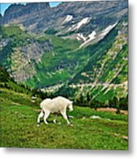 Logan Pass Mountain Goat Metal Print