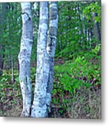 Lone Birch In The Maine Woods Metal Print