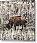 Lone Buffalo Metal Print