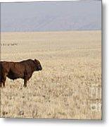 Lone Bull In Grassy Field Metal Print