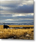 Lone Cow Against A Stormy Montana Sky. Metal Print