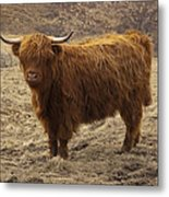 Lone Highland Cow Metal Print