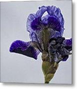 Lone Iris  Metal Print