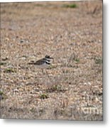 Lone Killdeer Metal Print
