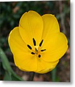 Lone Yellow Tulip Metal Print