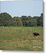 Lonely Cow Metal Print