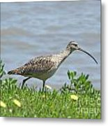 Long Billed Curlew At Palacios Bay Tx Metal Print