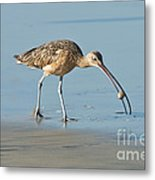 Long-billed Curlew Catching Crab Metal Print