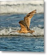 Long-billed Curlew Flying Over The Surf Metal Print