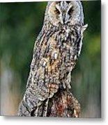 Long-eared Owl 4 Metal Print