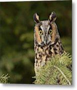 Long-eared Owl, Asio Otus (captive Metal Print