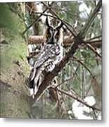 Long Eared Owl At Attention Metal Print
