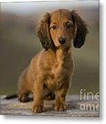 Long-haired Dachshund Puppy Metal Print