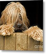 Long-haired Dog Metal Print