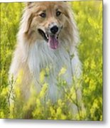 Long Haired Mixed Breed Metal Print