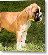 long tailed Boxer Puppy in the sun Metal Print