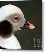 Long-tailed Duck Metal Print