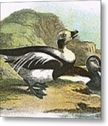 Long Tailed Duck Metal Print