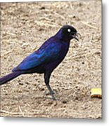 Long Tailed Glossy Starling  Metal Print