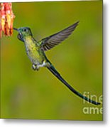 Long-tailed Sylph Metal Print