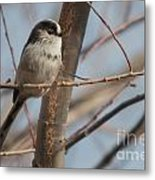 Long-tailed Tit Perched On Twig Metal Print