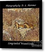 Long-tailed Weasel Cubs Metal Print