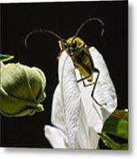 Longhorn Beetle Feeding Metal Print