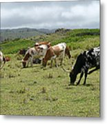 Longhorn Cattle Metal Print