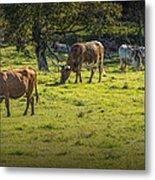 Longhorn Steer Herd In A Pasture Metal Print